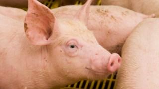 Portugal produz apenas 55% da carne de porco que consome