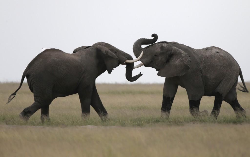 PÚBLICO - População de elefantes da savana caiu 30% em seis anos