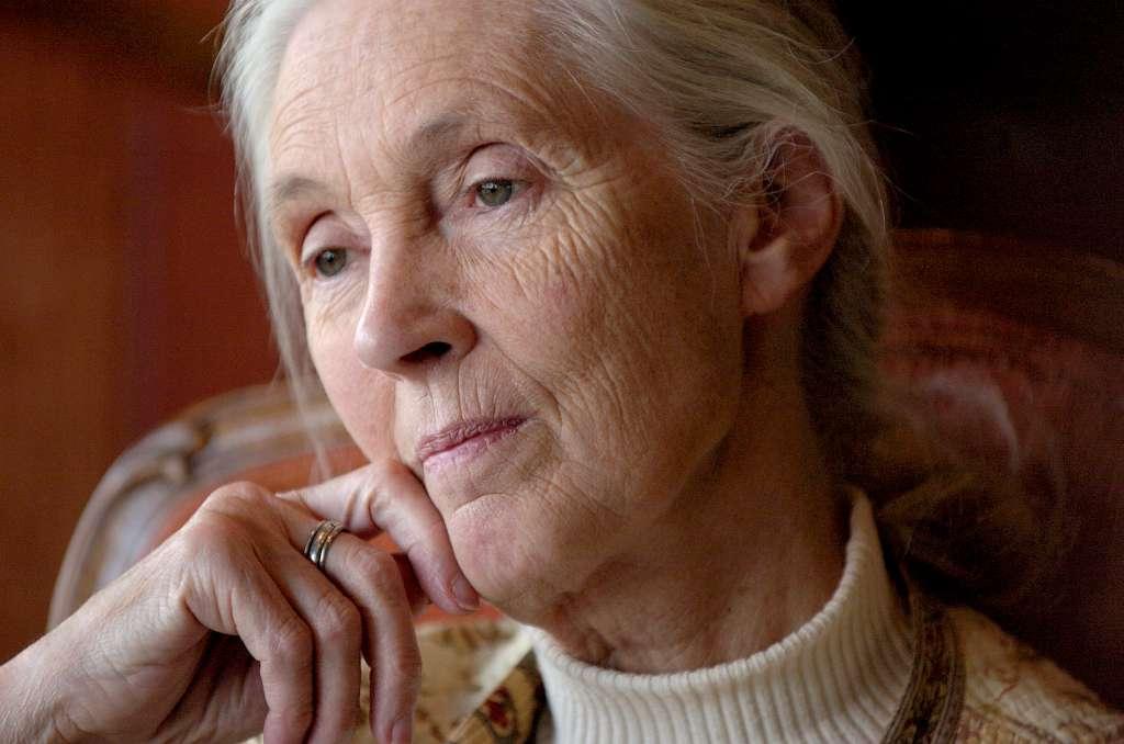 """PÚBLICO - Jane Goodall: """"Há um grande hiato entre o cérebro inteligente e o coração humano"""""""