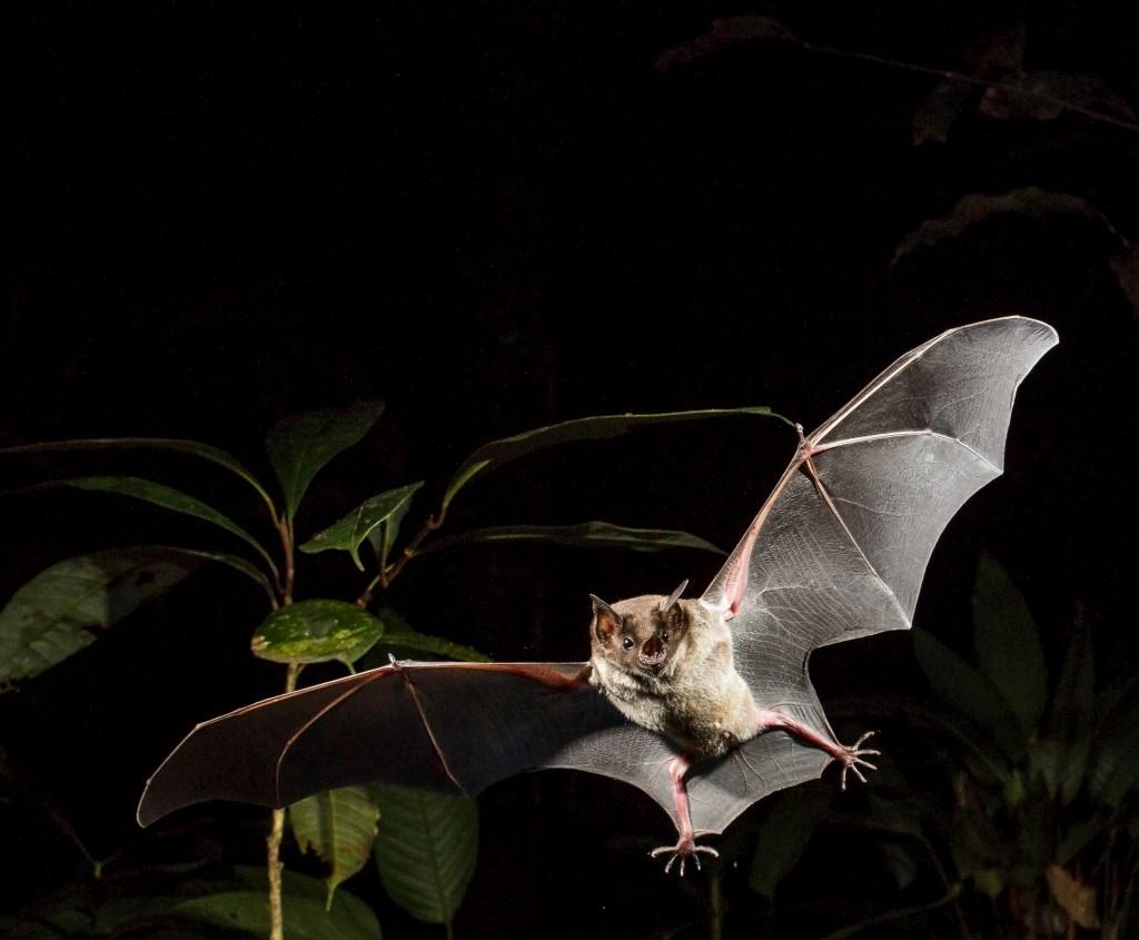 PÚBLICO - Nasce um guia de campo para identificar morcegos na Amazónia