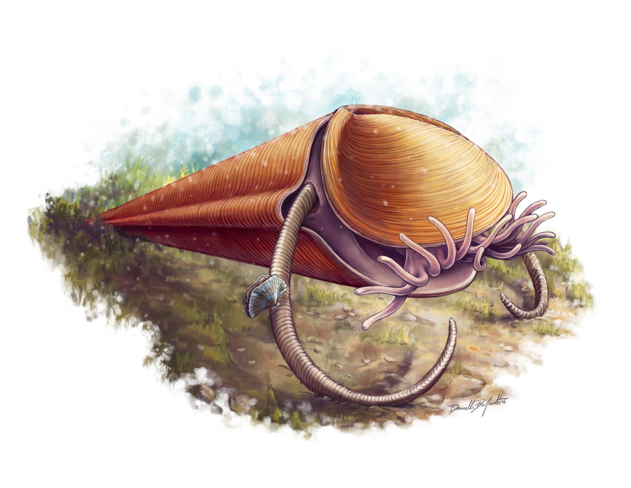 """Ilustração do hiolito <i>Haplophrentis</i> a mostrar os tentáculos que usava para apanhar comida e o par de """"braços"""" com que se elevava do solo marinho"""