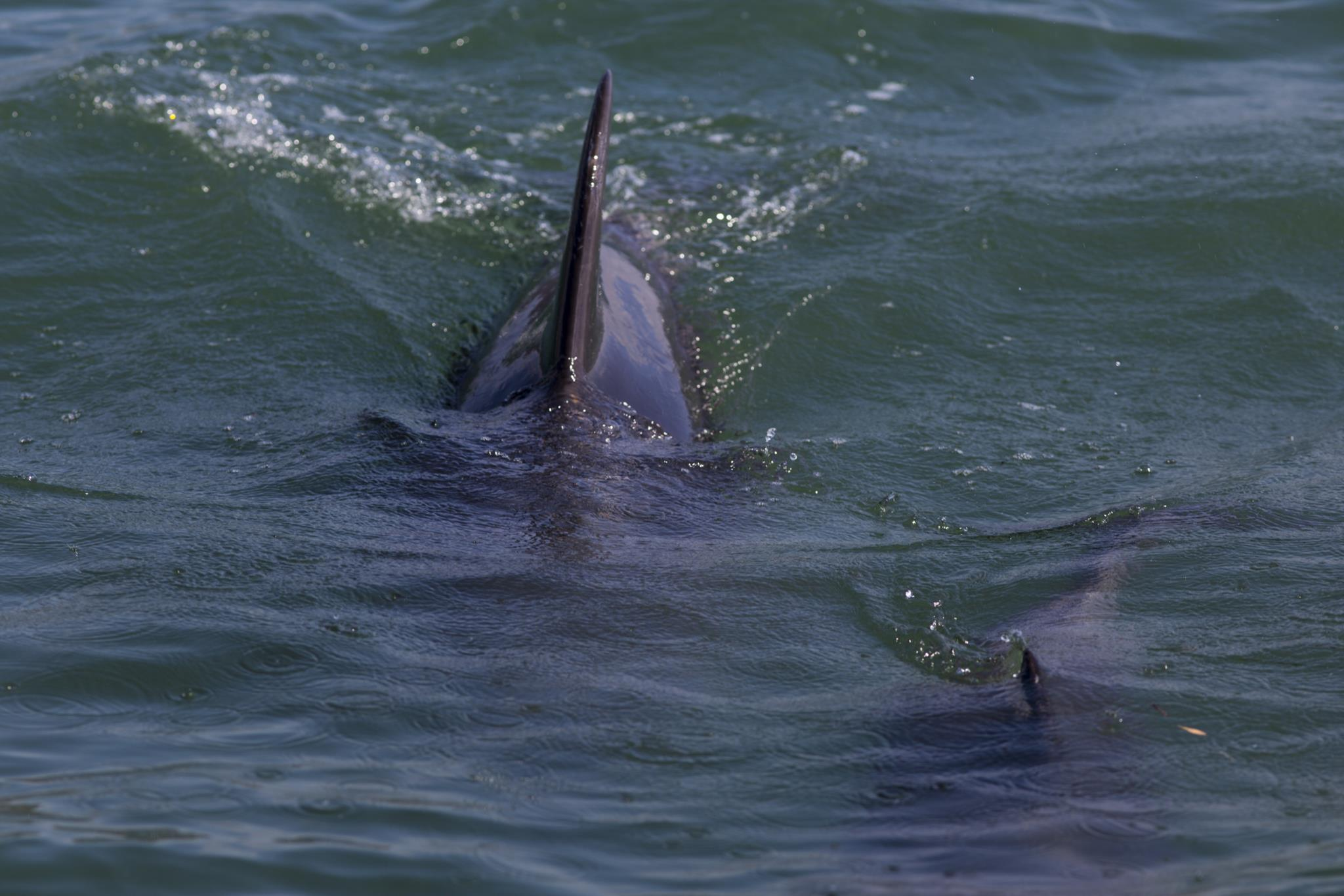 PÚBLICO - Cinco golfinhos deram à costa sem vida em Vila do Conde e Póvoa de Varzim