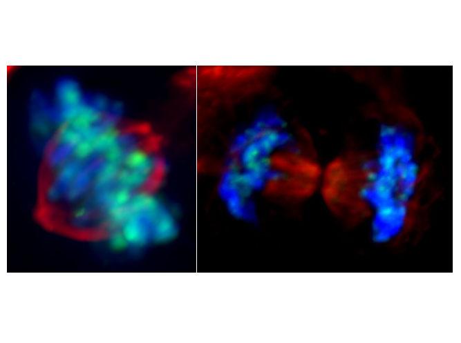 PÚBLICO - Repo-Man, uma proteína relevante para divisão celular que também regula genes