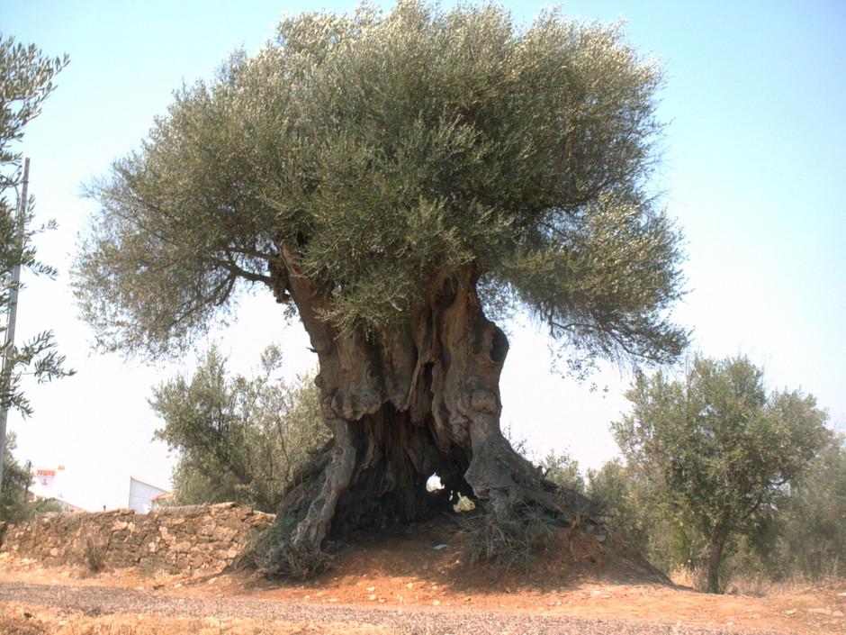 A oliveira das Mouriscas