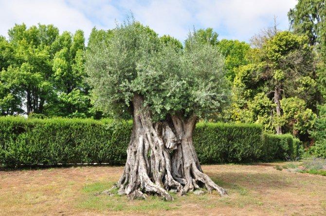Para celebrar a velha aliança, Londres recebe oliveira secular