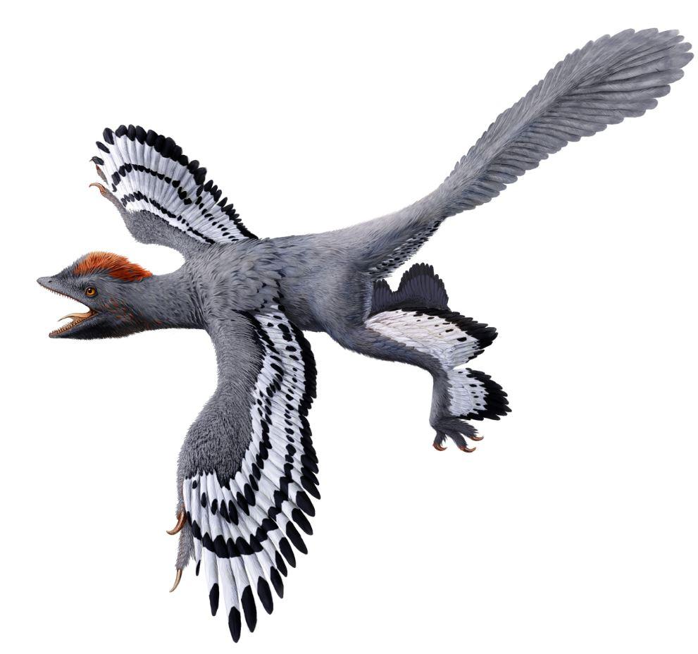 PÚBLICO - Apresentada uma nova versão do <i>Anchiornis</i>, um dinossauro-ave