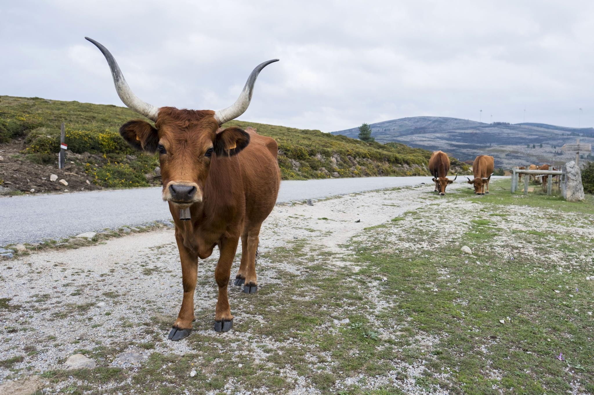 Portugal tem muitas vacas castanhas, mas não dão chocolate