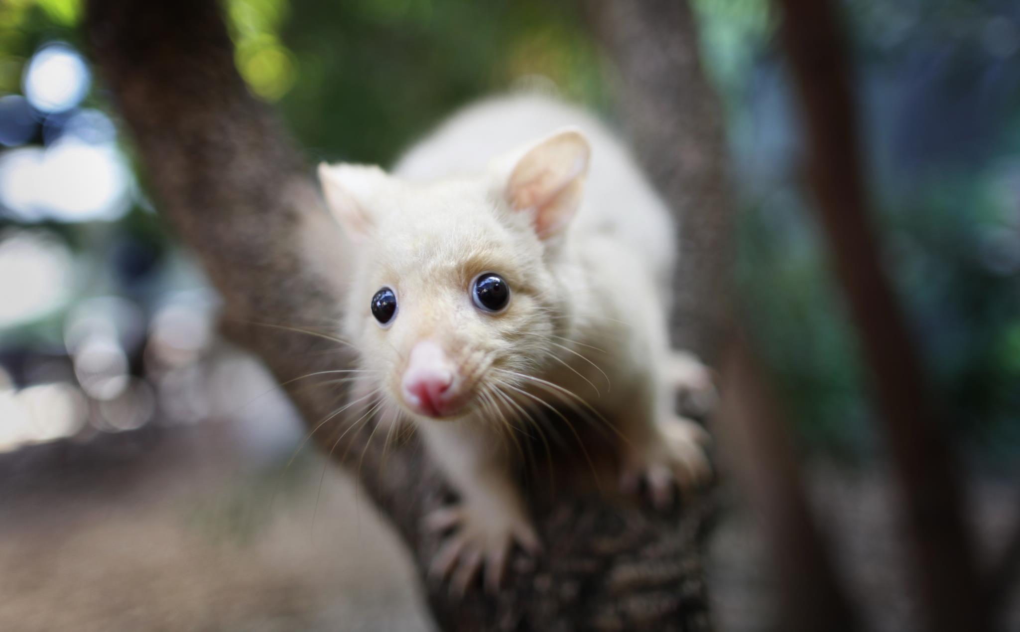 """PÚBLICO - Os opossuns são uma """"peste"""" na Nova Zelândia. Dará isso direito a afogar as suas crias?"""