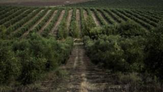 O Alentejo tem assistido a um aumento constante do olival nos últimos anos, com novas plantações sob influência do Alqueva
