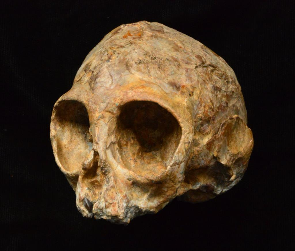 Crânio da espécie de símio <i>Nyanzapithecus alesi</i>