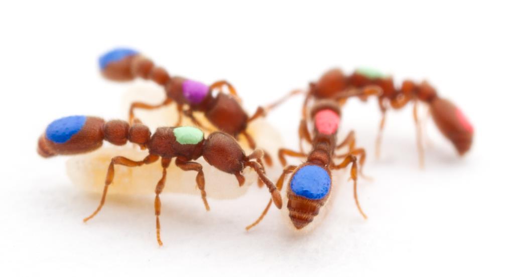 Formigas-biroi obreiras marcadas com cores para que se seguissem os seus comportamentos individuais