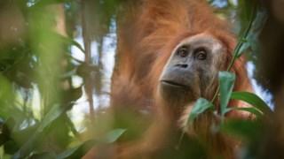 Orangotango-de-tapanuli
