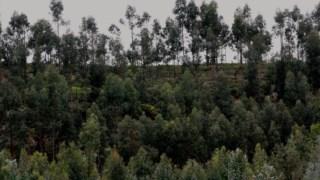 """""""As substâncias químicas presentes nas folhas dos eucaliptos impedem o crescimento das raízes de outras espécies nativas"""""""
