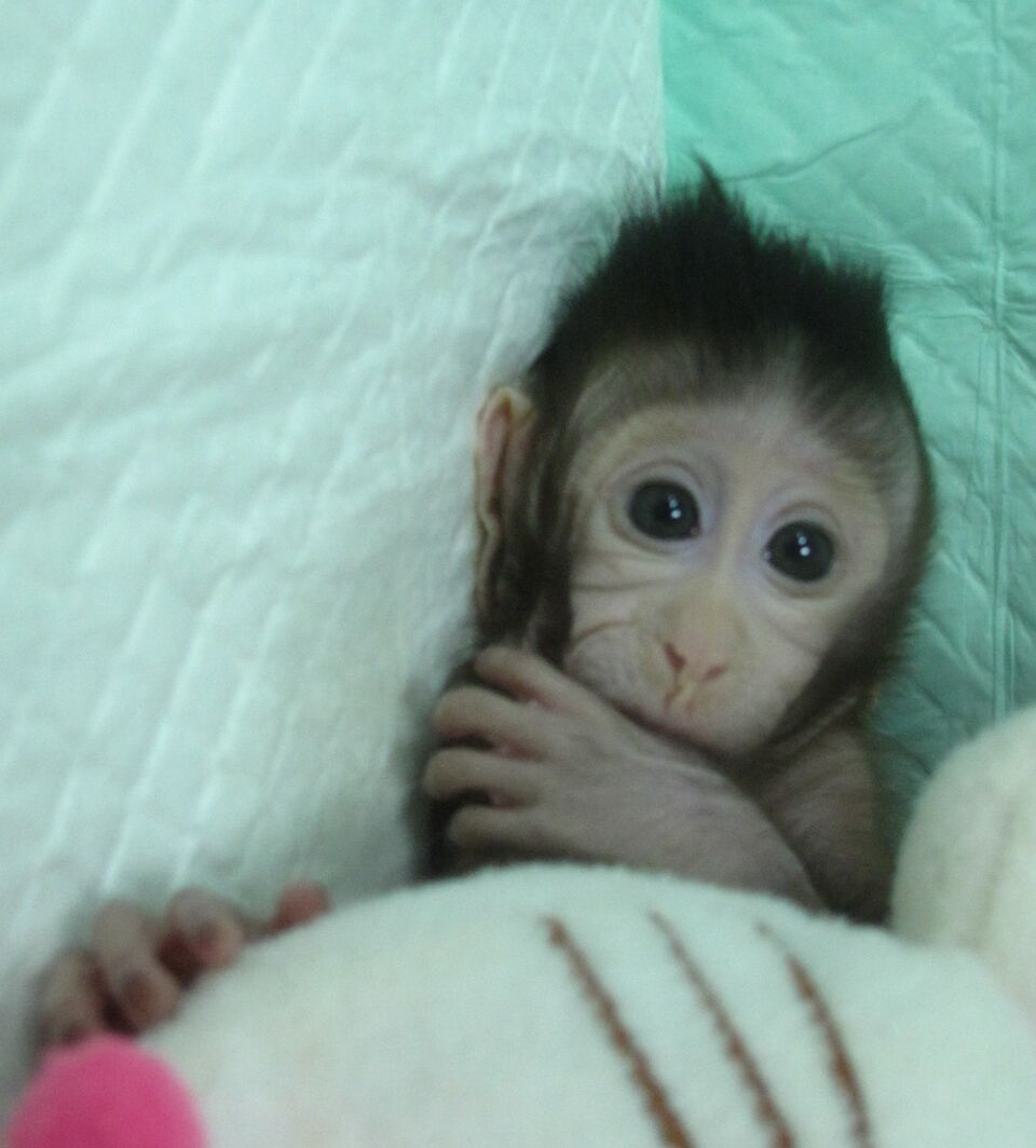 Resultado de imagem para primeiros primatas clonados com a técnica de Dolly