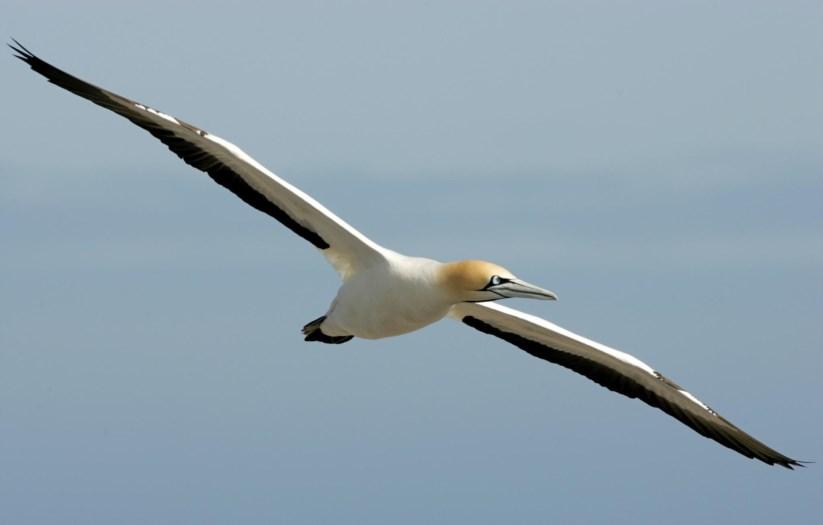 Esta ave migratória pode ser observada em várias zonas da costa portuguesa