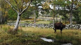 Gado, terra comum