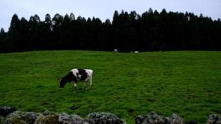 Na Nova Zelândia existem 10 milhões de vacas, o dobro da população humana