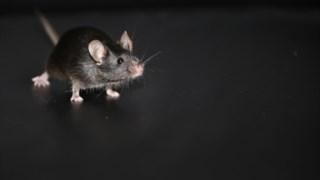 Rato, rato, Muroids