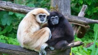 Primaz, Lar Gibbon