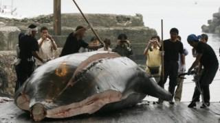 """Todos os anos o Japão caça centenas de baleias para """"investigação científica"""" e cuja carne acaba por ser vendida"""