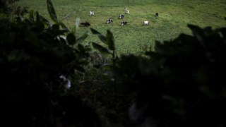 a pecuária aumenta as necessidades de água da ilha de São Miguel