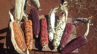 A domesticação do milho começou há nove mil anos no México