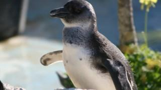 ,Pinguim