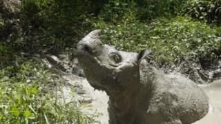 ,Rinoceronte de Sumatra