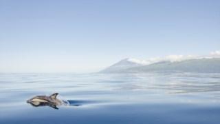 """Fotografia """"Golfinho no Sul do Pico"""", de Pedro Silva, que conquistou o primeiro prémio na categoria Fauna"""