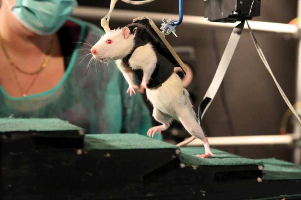 Tratamento fez ratos paraplégicos andarem por vontade própria