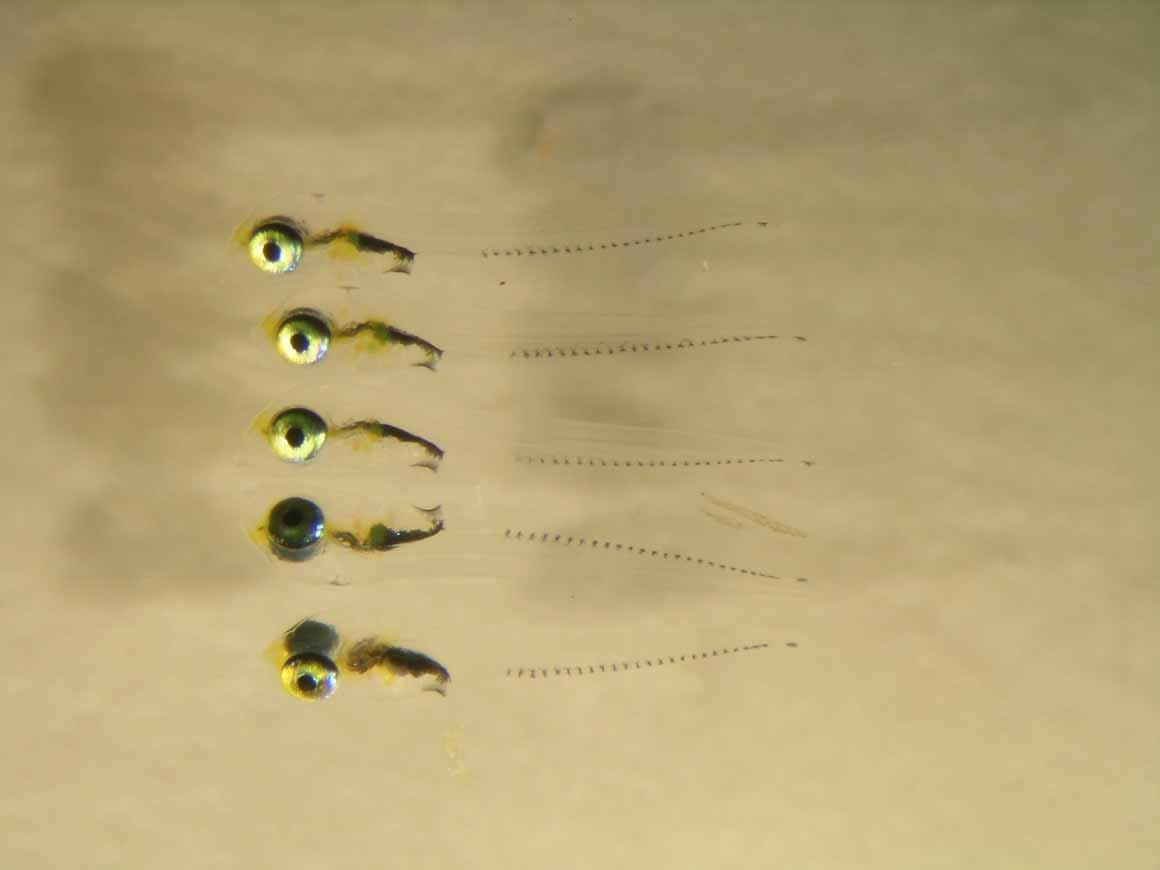 Pequenas larvas de peixes que se tornarão em indivíduos adultos, alguns com elevado interesse comercial