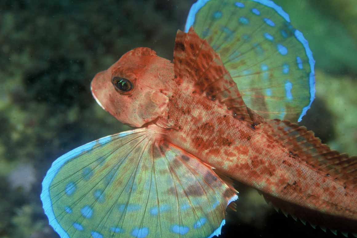 O ruivo também vive em fundos rochosos e arenosos no parque marinho