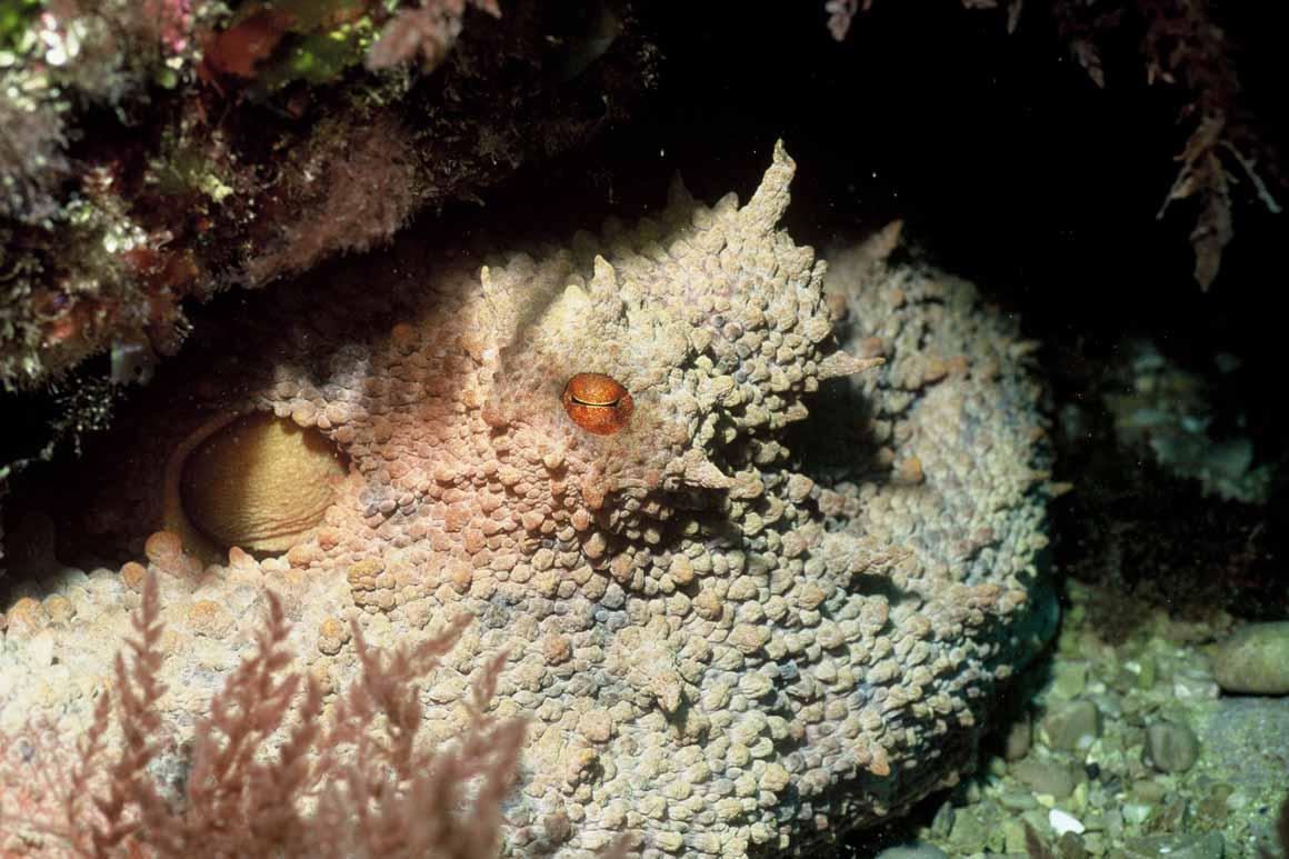 Vida camuflada (1): um polvo, espécie que tem reagido bem à proibição da pesca nalgumas zonas