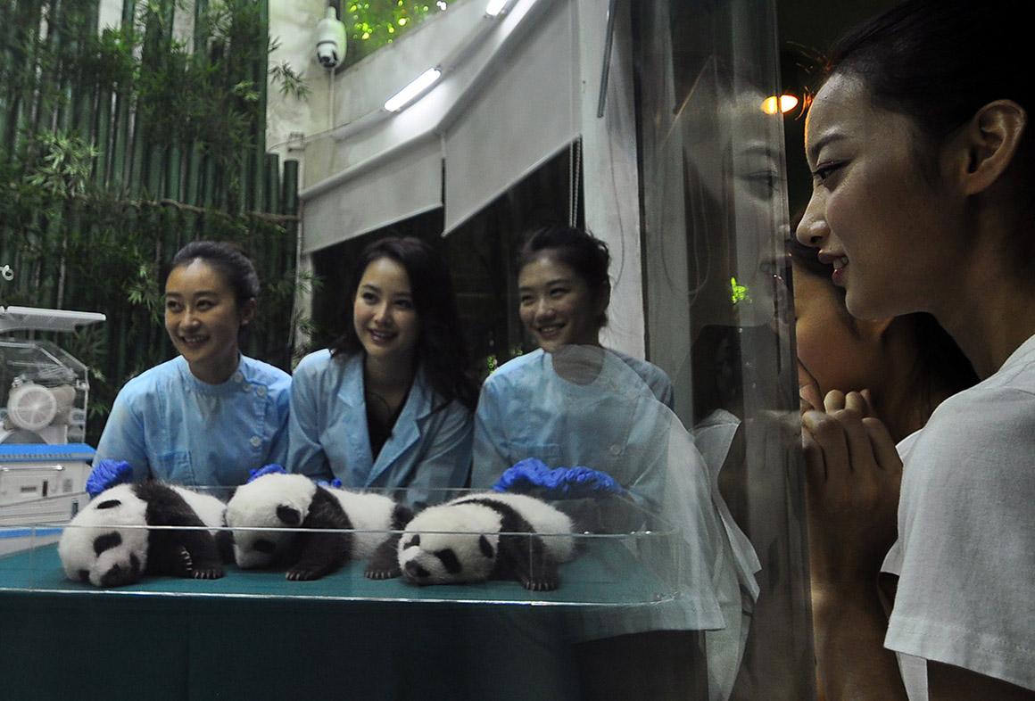 """Concorrentes """" A Miss Chines"""" com bebês panda, China"""