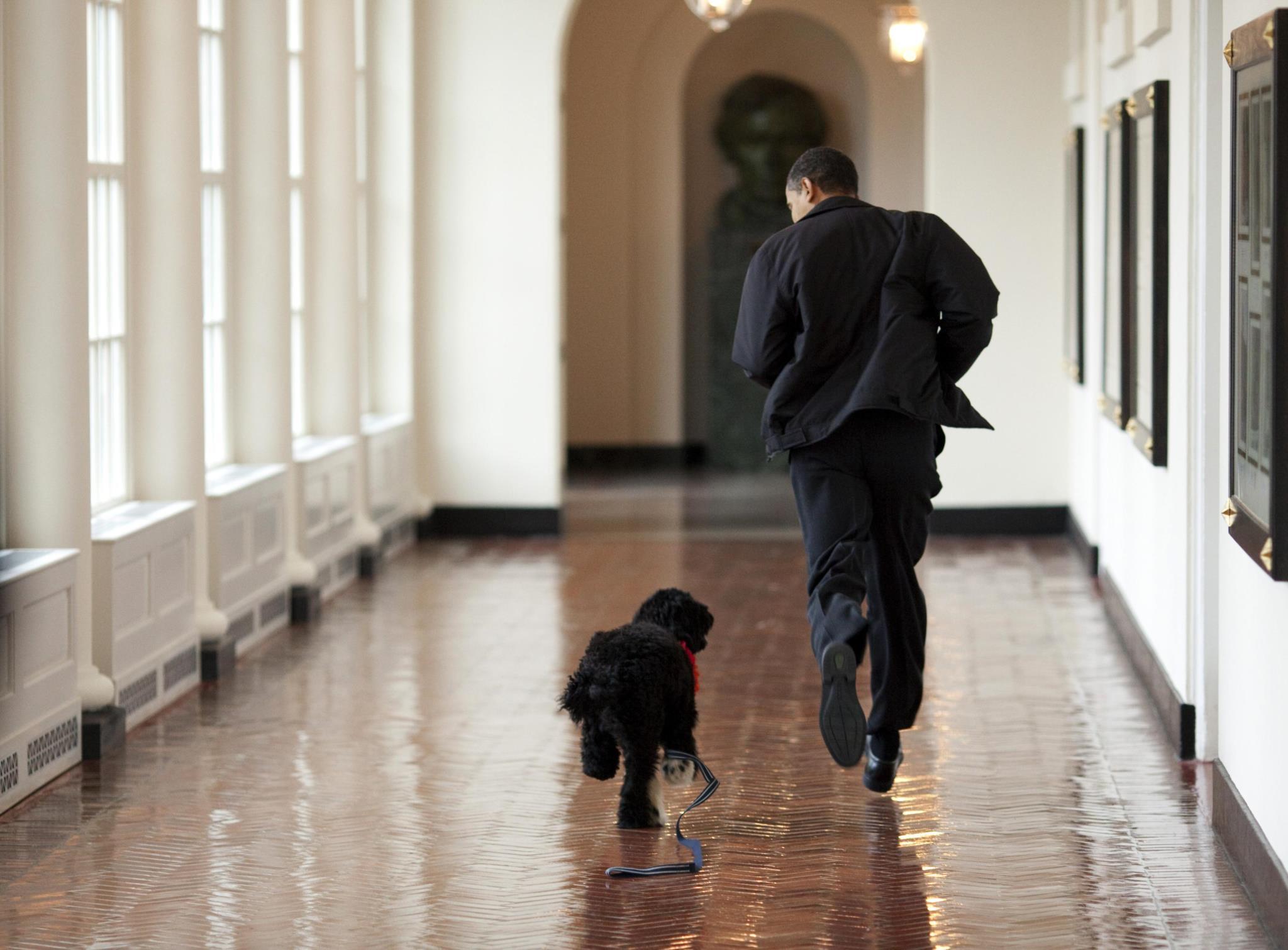 Bo, o cão de água português, tornou-se o companheiro da família Obama na Casa Branca e presença habitual nas fotografias oficiais do Presidente