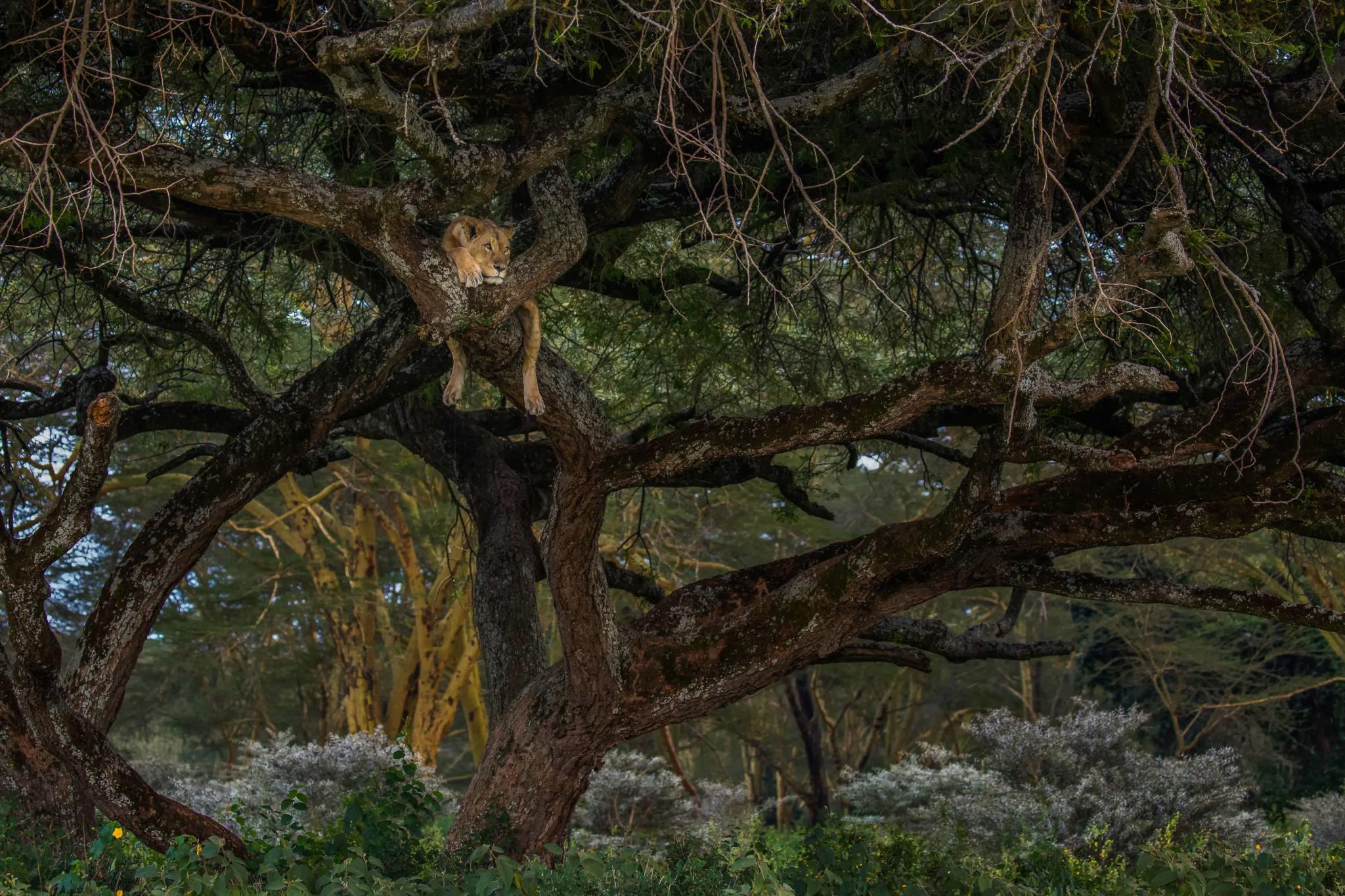 Uma leoa descansa numa árvore no Parque Nacional do Lago Nakuru, no Quénia (1.º prémio - Sri Lanka)