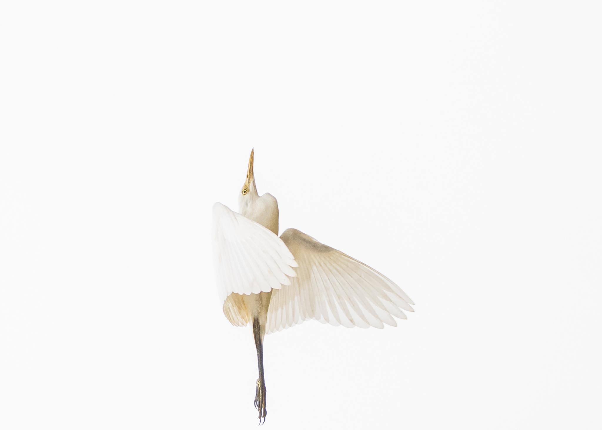 Uma garça voa no Parque Natural de Chitwan (1.º prémio - Nepal)