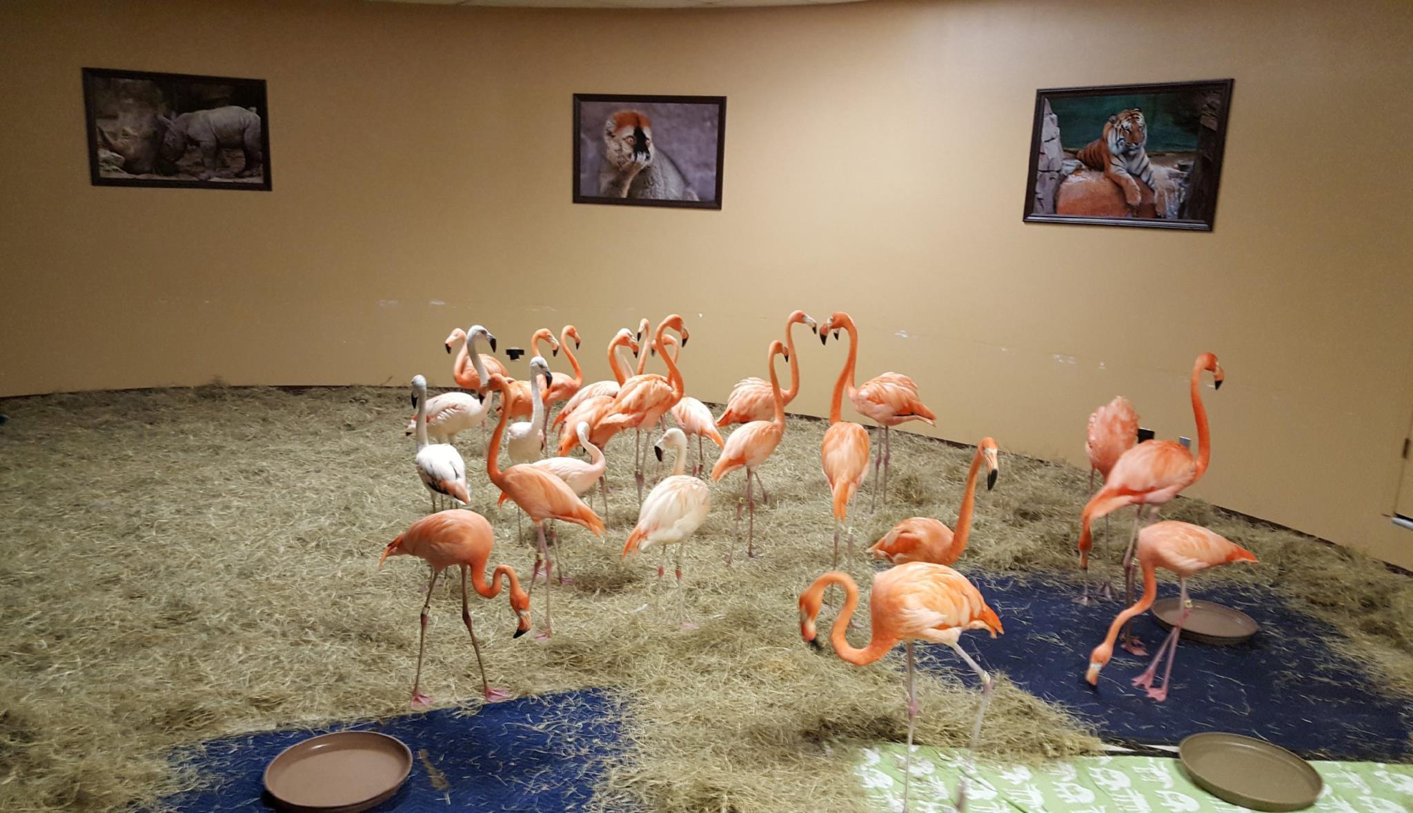 Um grupo de flamingos permaneceu isolado durante o período que o <i>Irma</i> afectou a cidade de Tampa, nos Estados Unidos