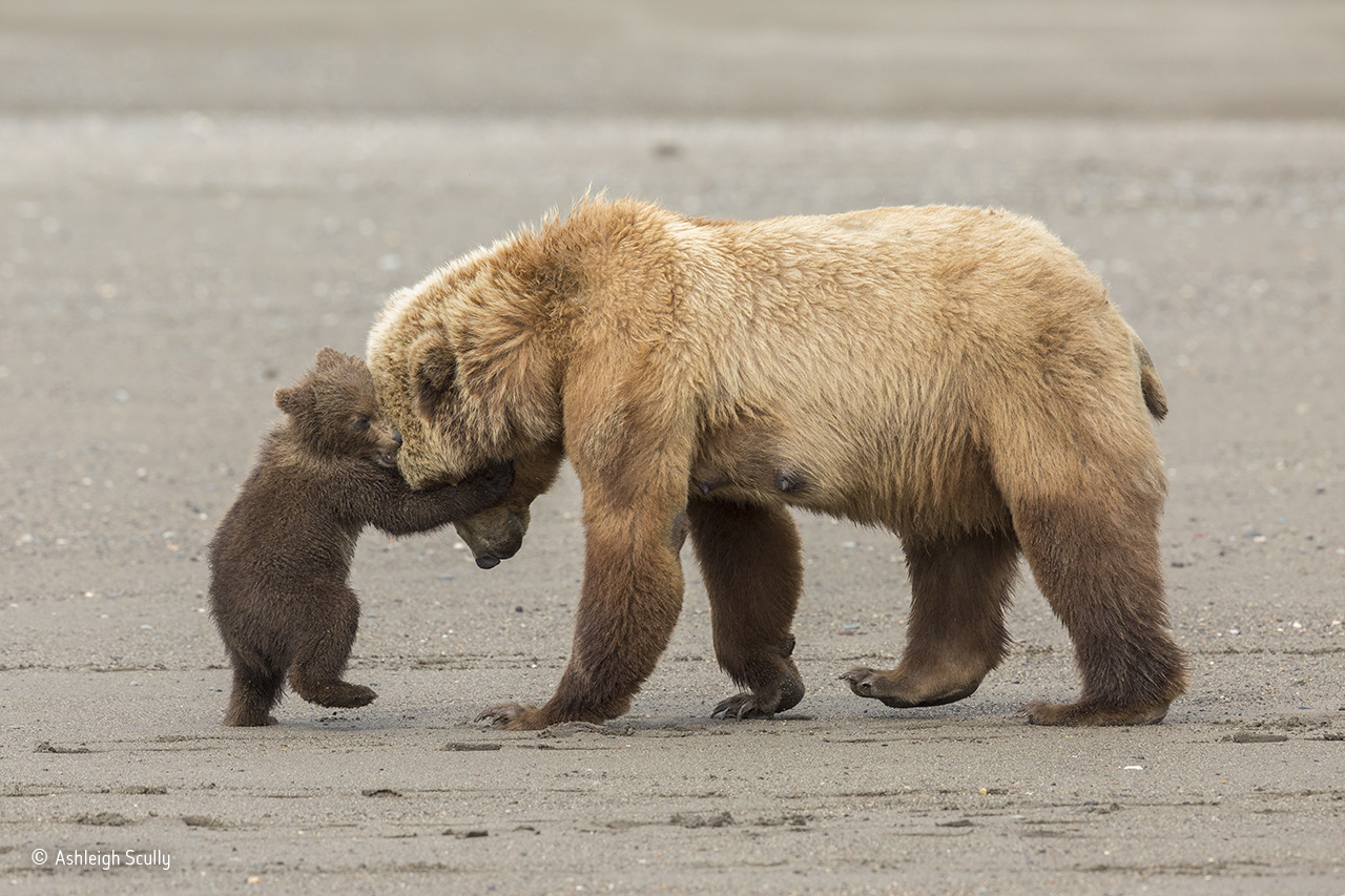Uma família de ursos pardos no estado do Alasca, Estados Unidos