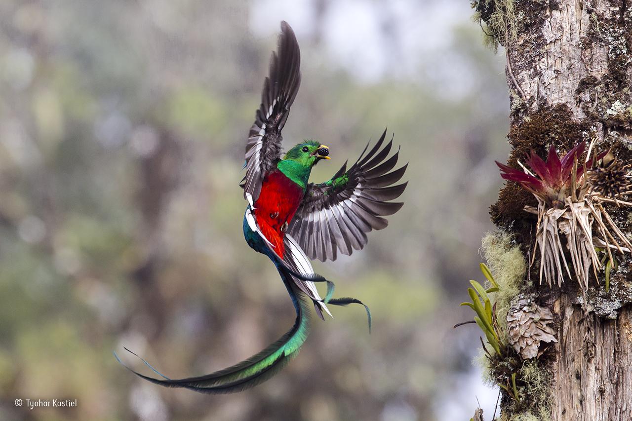 Um quetzal na floresta de San Gerardo de Dota, na Costa Rica