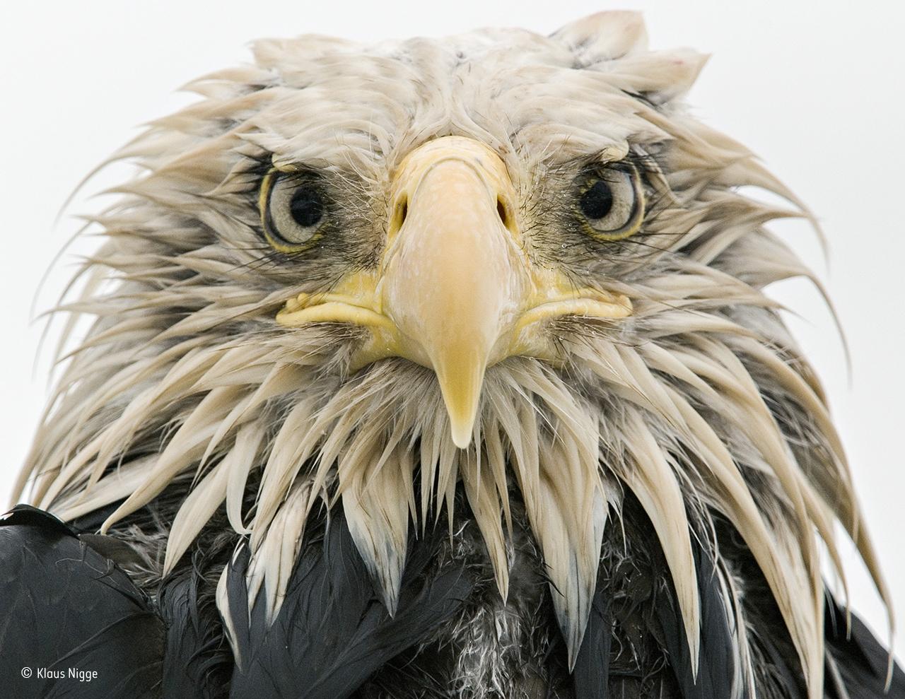 Uma águia careca no estado norte-americano do Alasca
