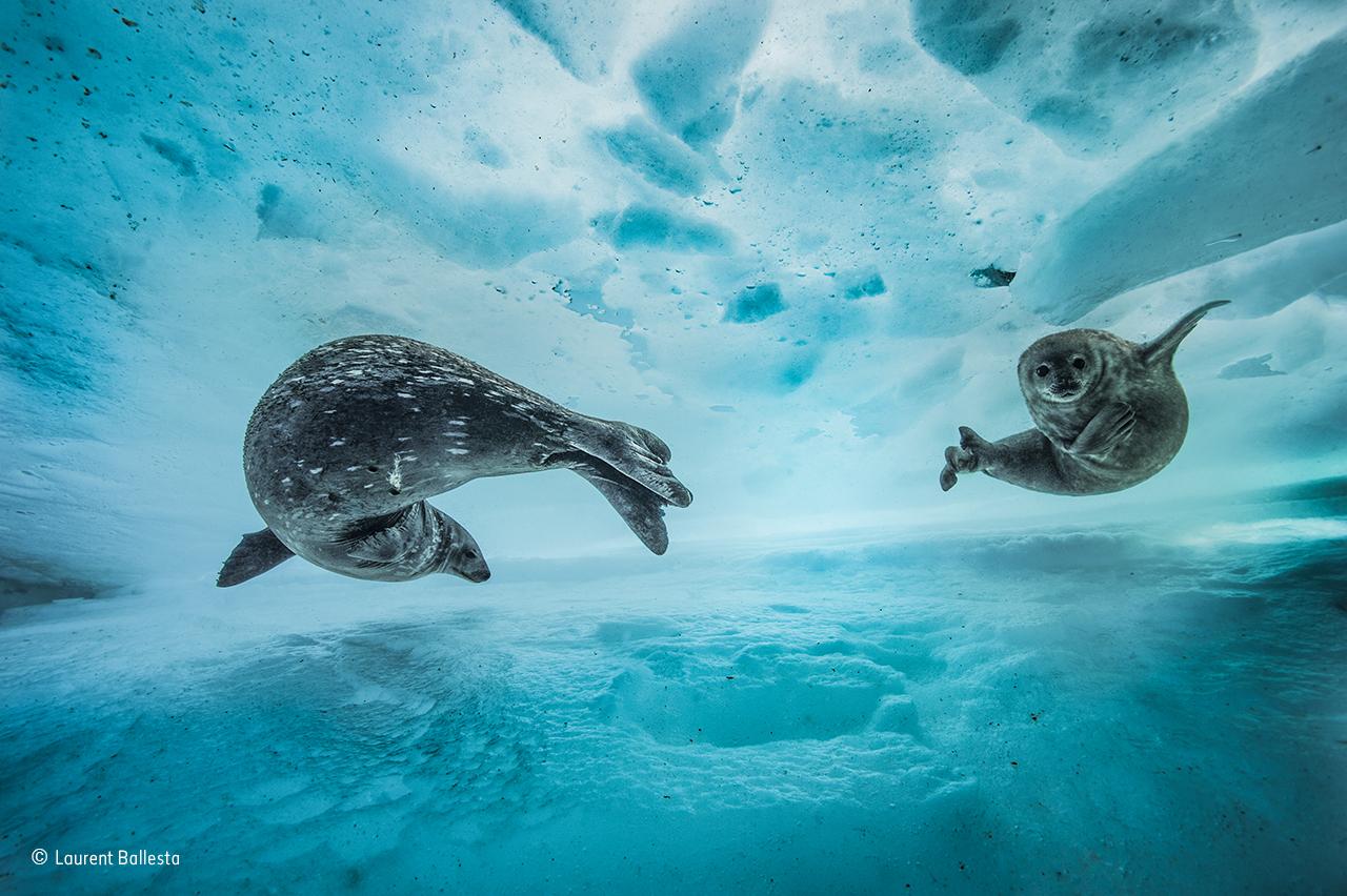 Uma Foca-de-weddell fêmea introduz a sua cria às águas geladas da Antárctida