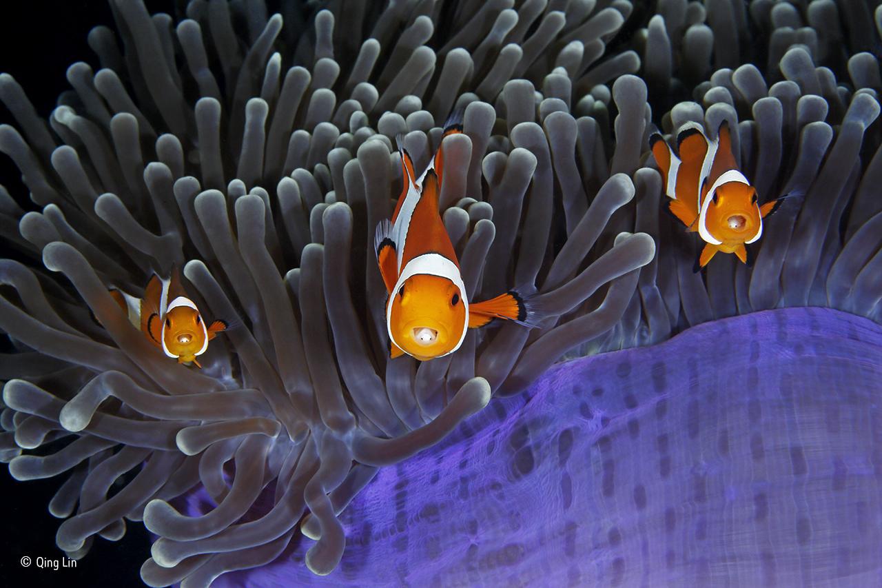 """O fotógrafo intitulou esta imagem de """"Os Infiltrados"""", em referência aos parasitas crustáceos que estão escondidos nas bocas destes peixes-palhaço"""