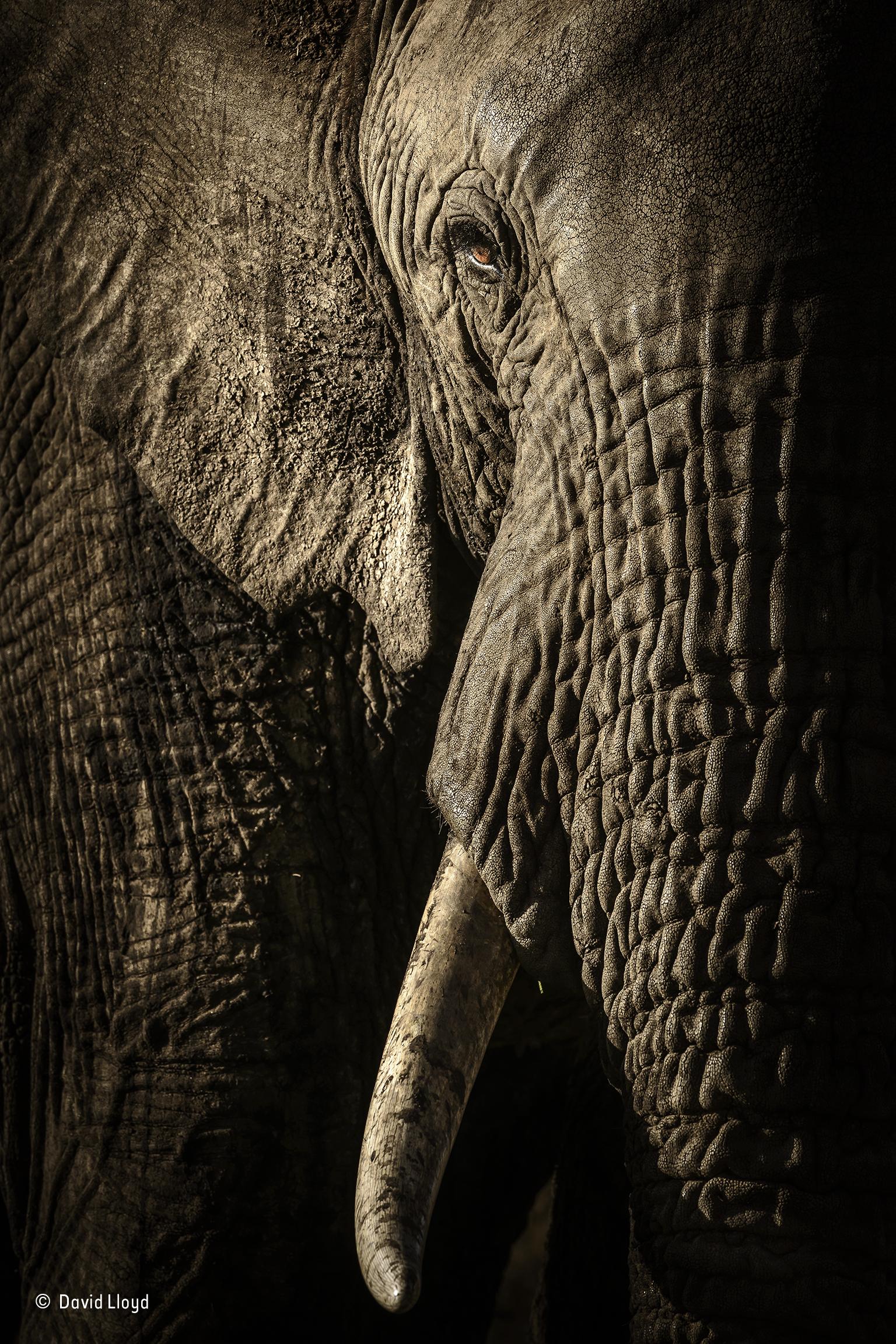 Uma elefante fêmea olha directamente para a câmara do fotógrafo numa reserva natural no Quénia