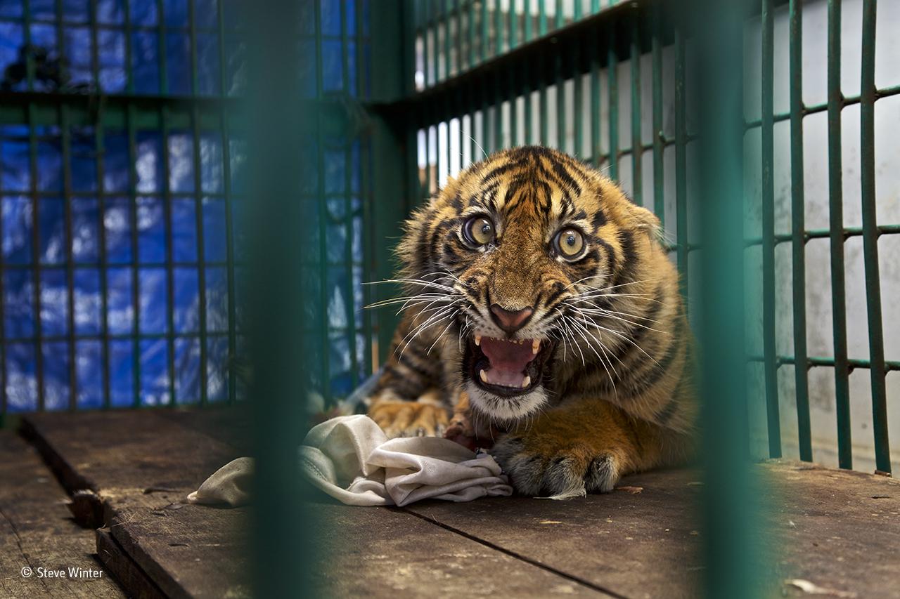 Uma cria de tigre de Sumatra salva de uma armadilha onde ficou presa durante quatro dias e que levou à amputação de uma das suas patas, na Indonésia