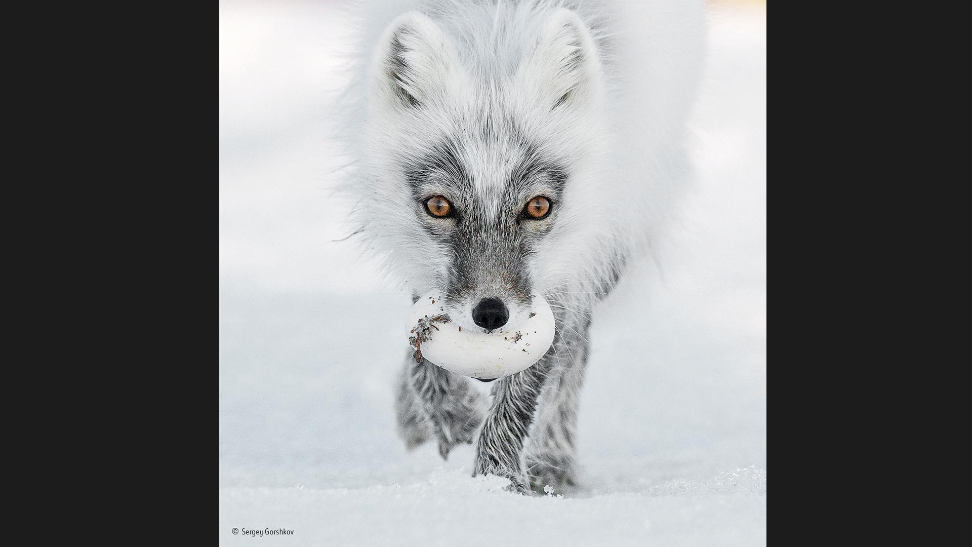 Uma raposa do Ártico transporta o resultado da sua caçada, na ilha de Wrangel, no sudeste da Rússia